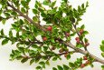 Cotoneaster horizontalis branch