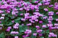 Massed cyclamen coum