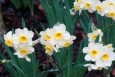 Minnow (Narcissus 'Minnow') daffodil bulbs