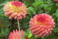 Lakeland Autumn Dahlias