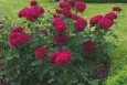 Darcy Bussell English Rose Bush