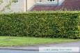 Green Beech Hedge in Summer