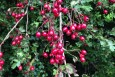 Hawthorn Berries in October