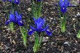 Iris reticulata Harmony in March