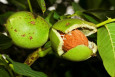 Buccaneer Walnut Trees - Fast cropping