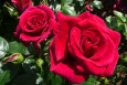Lovestruck Floribunda Rose of the Year 2018