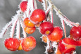 Everest Crab Apples in Winter