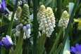 ​White Magic Grape Hyacinth Flowers