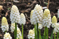 Muscari aucheri ​White Magic Flowers