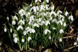 Snowdrops for sale