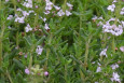 Common Thyme flowers