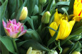 Mixed Early flowering double tulips