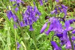 Bluebell - In the Green
