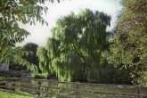 Willow, Weeping - Standard