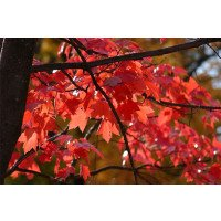 Acer x freemanii Autumn Blaze leaves