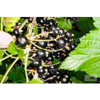 Big Ben Blackcurrants
