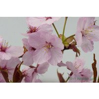 Prunus sargentii flowers close up