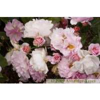 Cornelia Shrub Rose