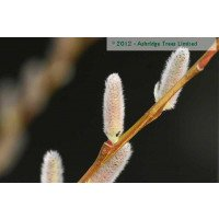 Salix caerula - Cricket Bat Willow