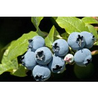 Ripe Bluecrop Blueberries on the bush