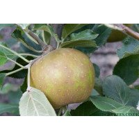 Apple Trees - Herefordshire Russet
