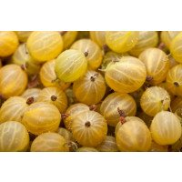 Ripe Hinnonmaki Yellow Gooseberries