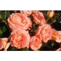Lady Marmalade floribunda rose flowers