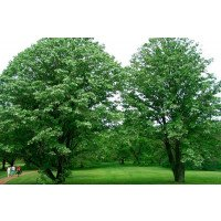 Tilia euchlora - Linden - A good avenue tree