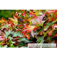 Red Oak Leaves in late summer