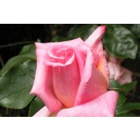 Compassion climbing rose