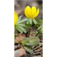Aconite - Winter, In the Green