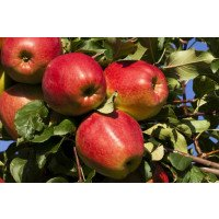Ripe Adams Pearmain Apples