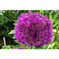 Purple Rain Allium Flower