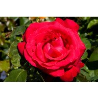 Alecs Red - Hybrid Tea Rose