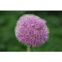 Allium hollandicum 'Aflatunense' Flower