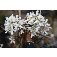Amelanchier canadensis Flowers