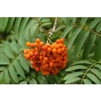 Mountain Ash Tree Berries