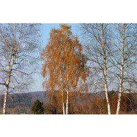 Betula pendula mature tree in Autumn