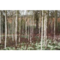 Betula utilis jacquemontii trees (with snowdrops)