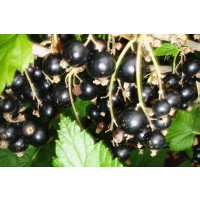 Big Ben Blackcurrant bush