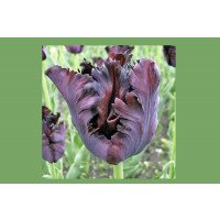 Black Parrot Tulips in flower