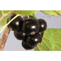 Ebony Blackcurrant Bush
