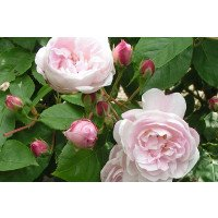 Blush Noisette Climbing/Shrub Rose flowers & buds