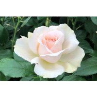 Hybrid Tea Rose - Chandos Beauty