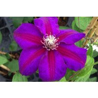 Clematis Mrs Norman Thompson