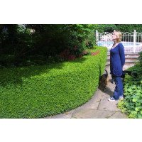 Buxus sempervirens Hedge