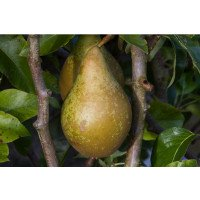 Conference Pear on the tree