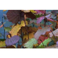 Purple Hazel Leaves in Autumn