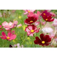Cosmos Velouette flowers in Summer