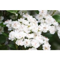 Double White English Hawthorn flowers